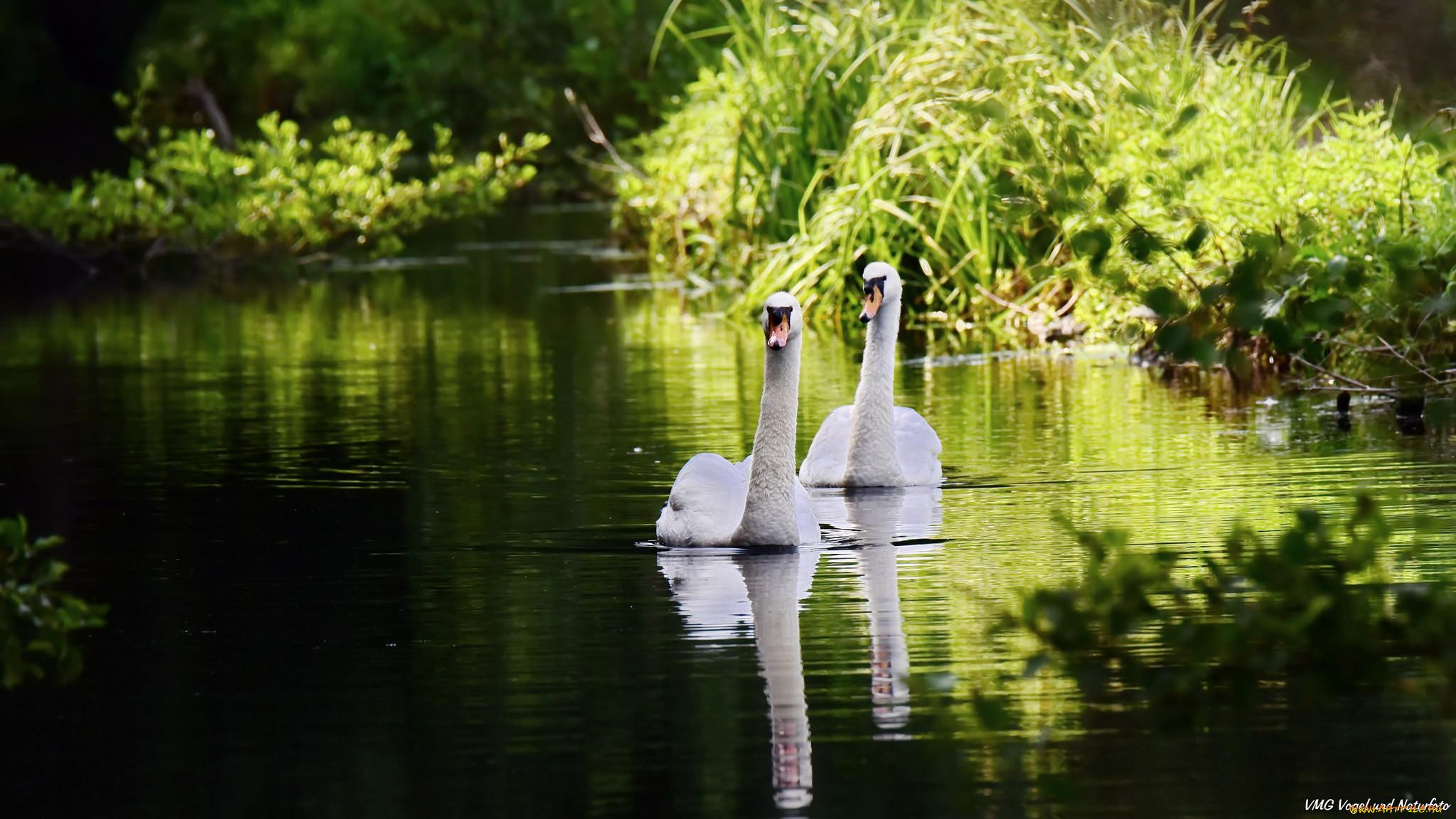 Обои на рабочий стол лебеди на озере осень новый
